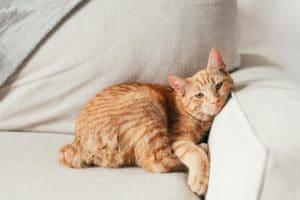 Différentes techniques très efficaces pour enlever les odeurs d'urine de chat
